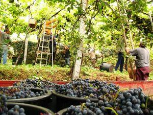 Tempo de colheita! Vindimas em Fafe, Portugal. Foto de Sara Moreira